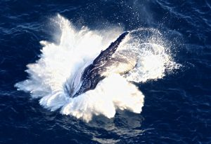 Sydney whale watching by helicopter